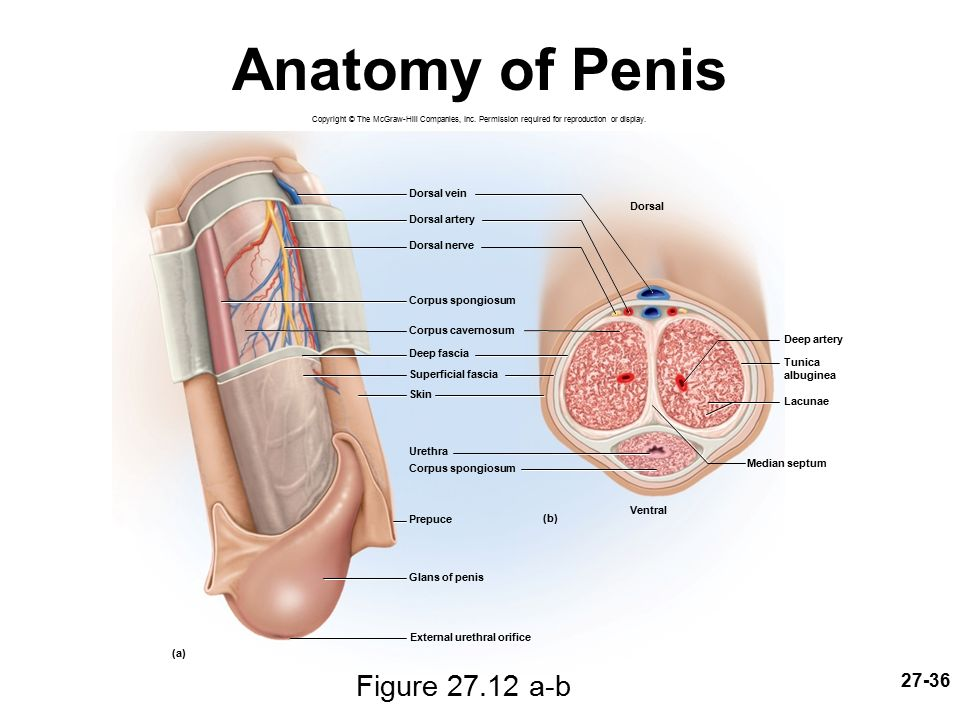 Deep dorsal vein of penis