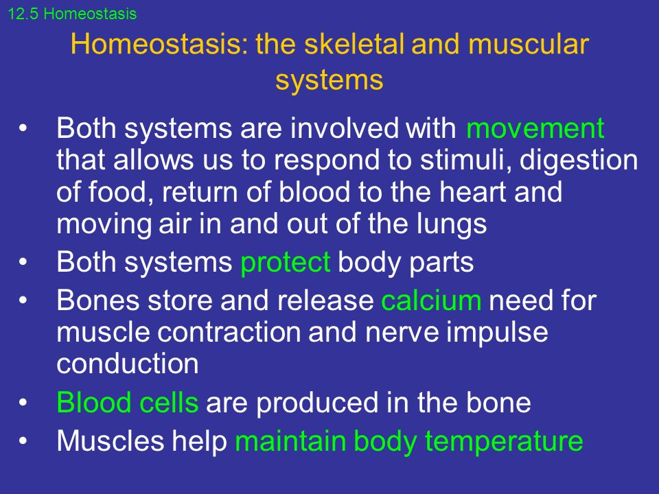 homeostasis of skeletal and muscular systems Transcript of the relationship between the skeletal and muscular systems the relationship between the skeletal and muscular systems what happens to homeostasis.