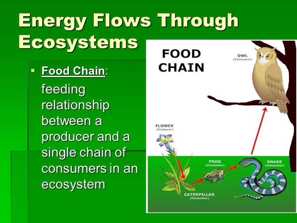 Energy Flows Through Ecosystems