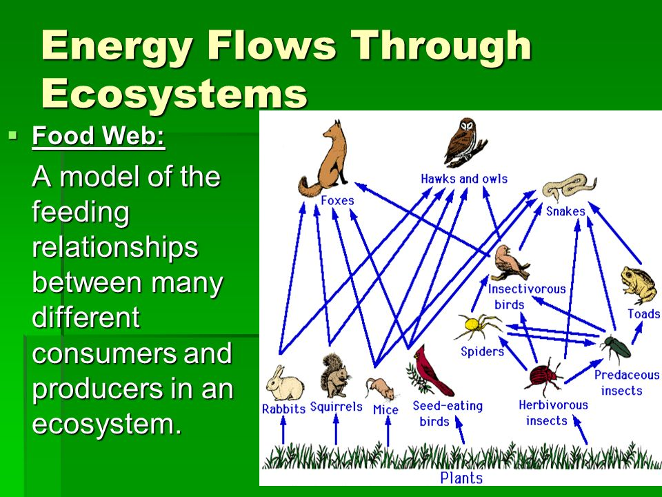 Freshwater Biome Energy Pyramid