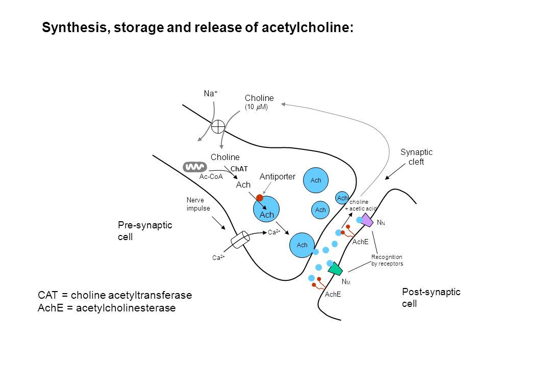 Synthesis, storage and release of acetylcholine: