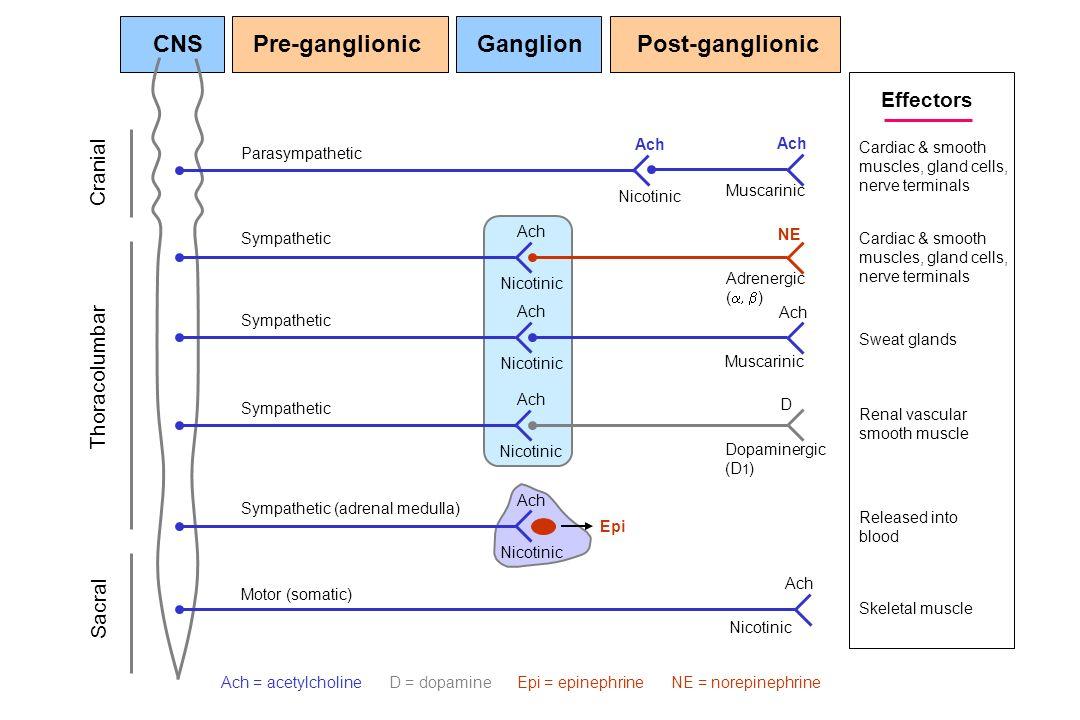CNS Pre-ganglionic Ganglion Post-ganglionic Effectors Cranial