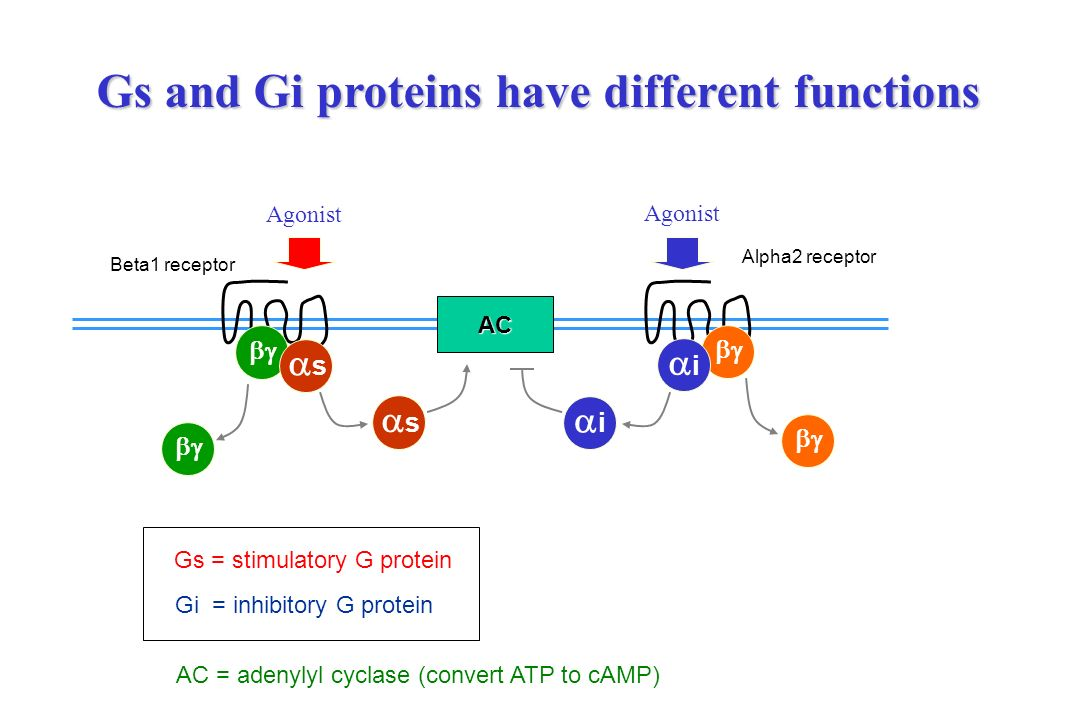 Gs and Gi proteins have different functions