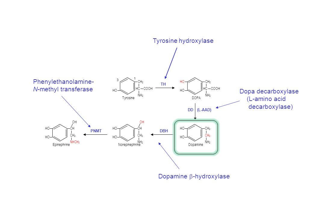 Dopamine b-hydroxylase