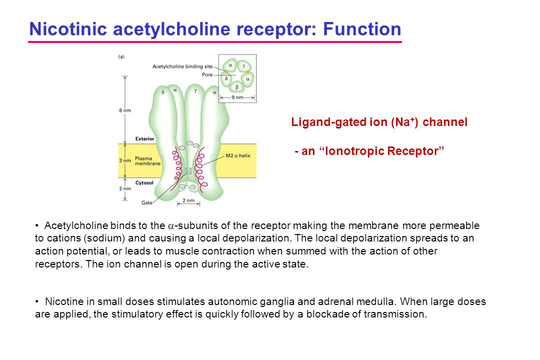 Nicotinic acetylcholine receptor: Function