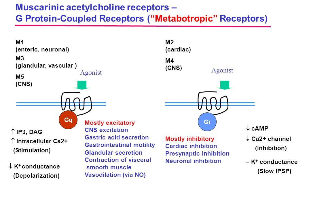 Muscarinic acetylcholine receptors –