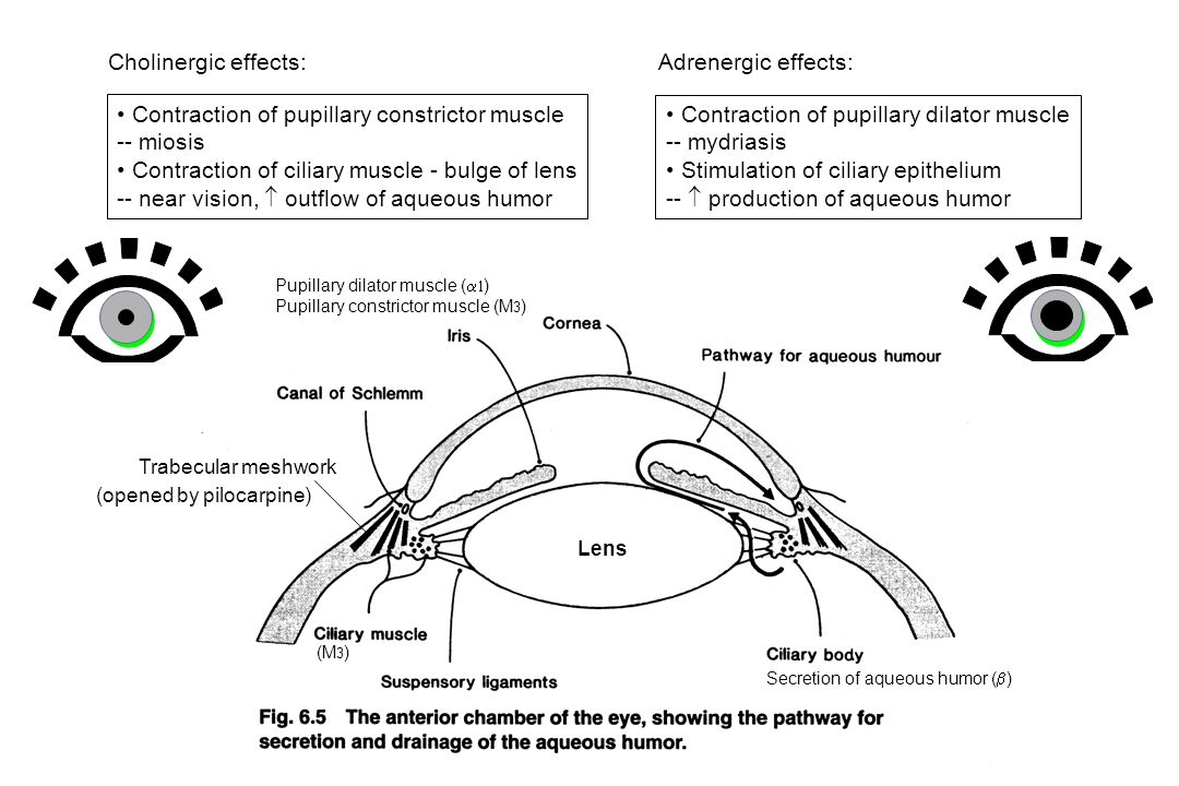 Contraction of pupillary constrictor muscle -- miosis