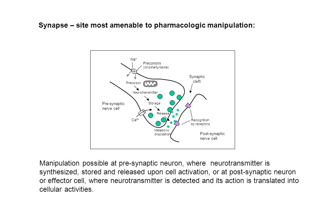 Synapse – site most amenable to pharmacologic manipulation:
