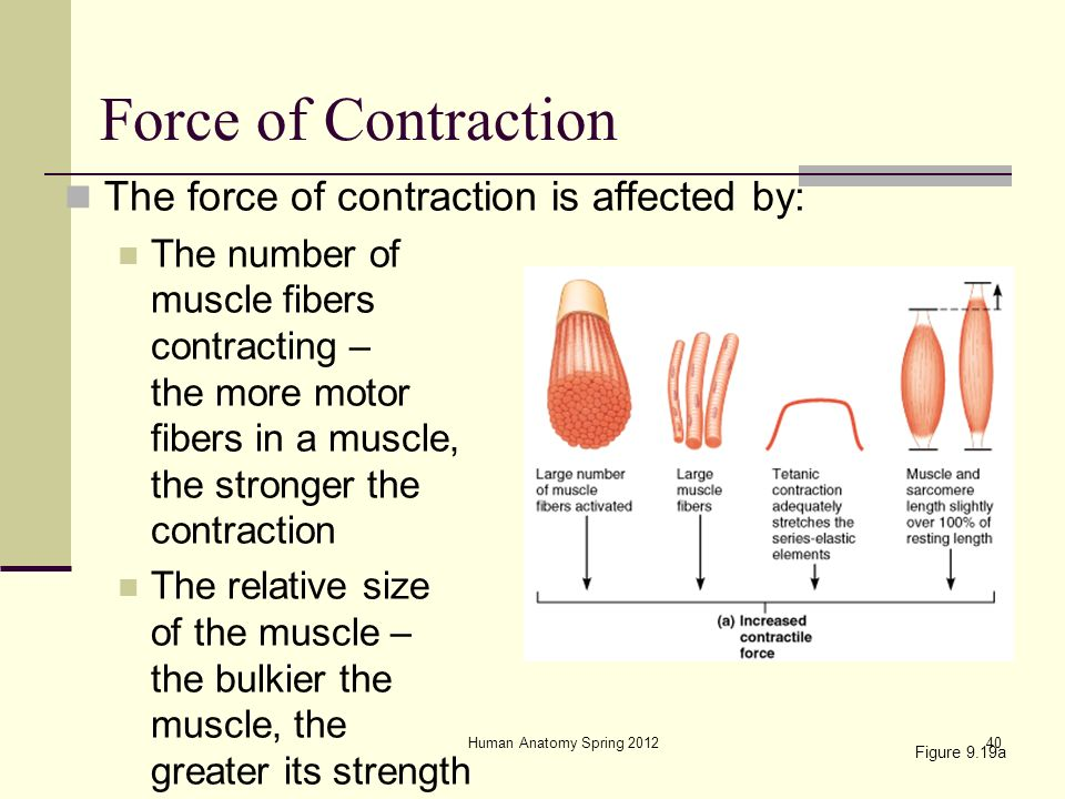 how does the frequency of stimulation affect the amount of force generated How does the frequency of stimulation affect the amount of  how did the frequency of stimulation affect the amount of force generated by the isolated skeletal.
