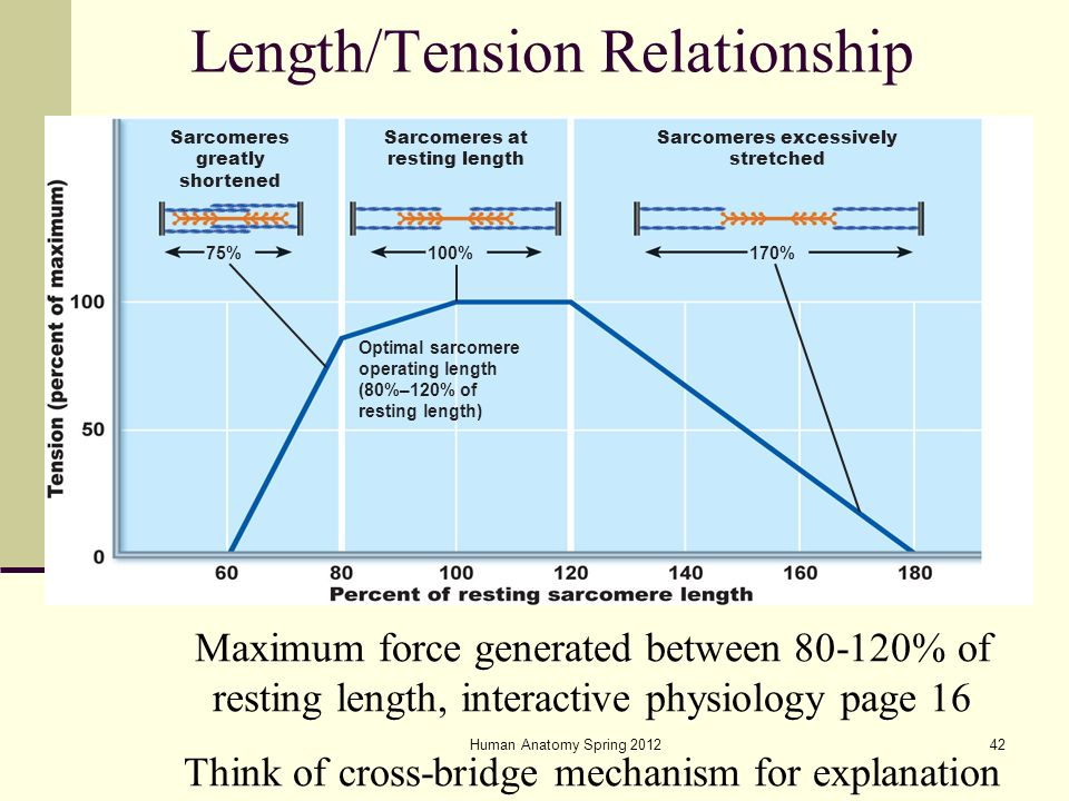 length and tension relationship What is the length-tension relationship definition the optimal length of a  muscle fiber that will generate the maximum force 225um.