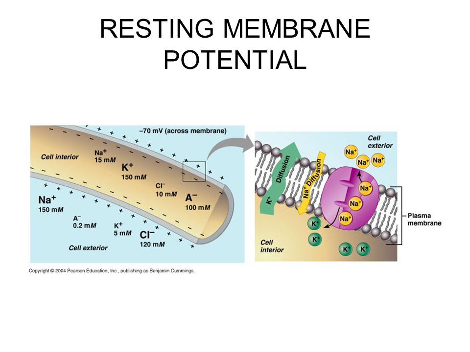 resting membrane potentials What is the difference between resting potential and action potential resting potential and action potential are two types of potentials caused by the movement.