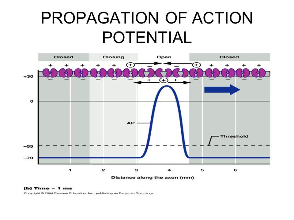 action potential propagation Protein gelation around axons inhibits action potential propagation in nerve  fibers wade n dauberman, samuel breit and shaohua xu department of.