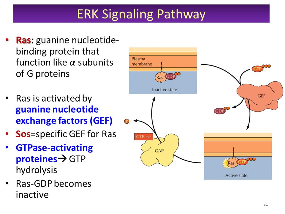 ras proteins Formation of ras proteins is transient gtp hydrolysis and re-lease of the γ-phosphate leads to reorientation of effector bind-ing residues, the release of effector proteins (due to reduced affinity), and attenuation of downstream signaling the rate-limiting step in ras protein activation is the ex.