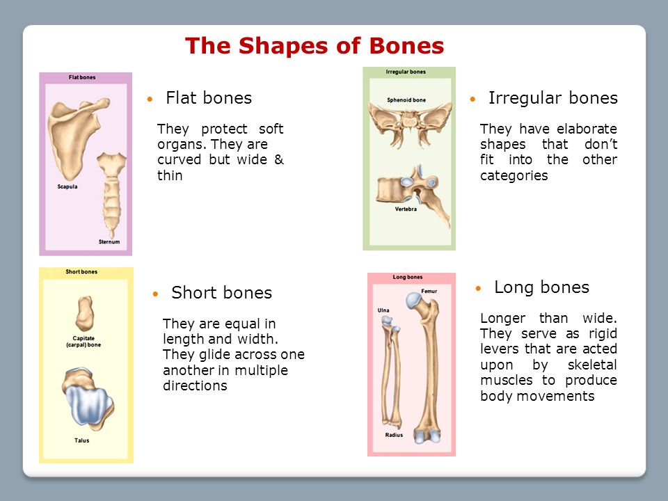 lecture # 13: bone tissue (chapter 7) objectives: - ppt download, Human Body