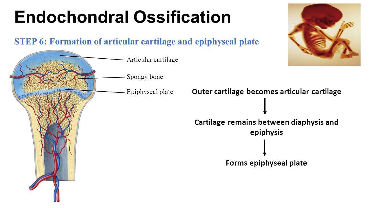 endochondral ossification Endochondral ossificationの意味や使い方 軟骨内骨化 - 約1079万語ある英和辞典・和英辞典。発音・イディオムも分かる英語辞書.