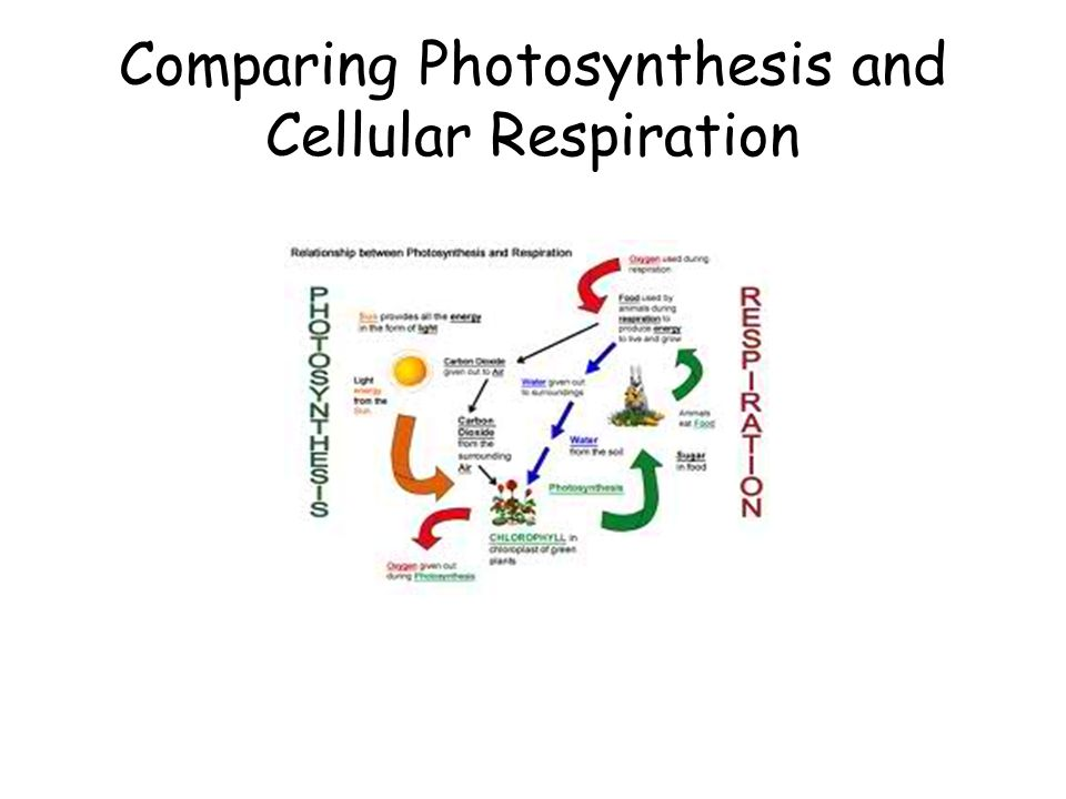 what is the difference between photosynthesis and cellular respiration Plants make food for all other living things by photosynthesis plants capture the sun's energy and turn it into glucose (food) - which is stored chemical energy.
