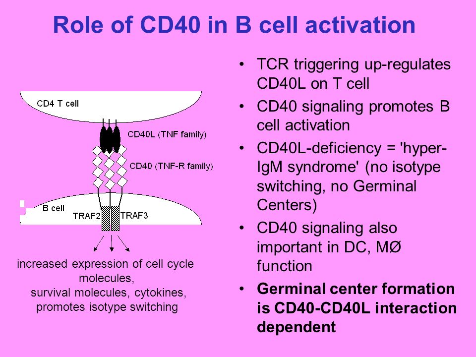B Cell Activation Germinal Center B Cell Activati...