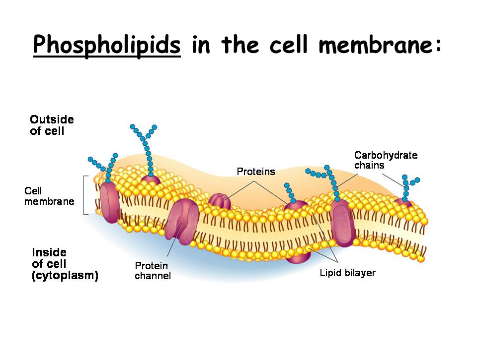 lipids c h o do not dissolve in water ppt video online