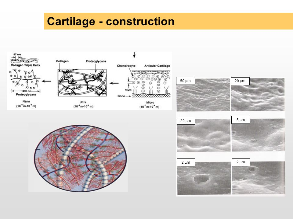 Cartilage - construction