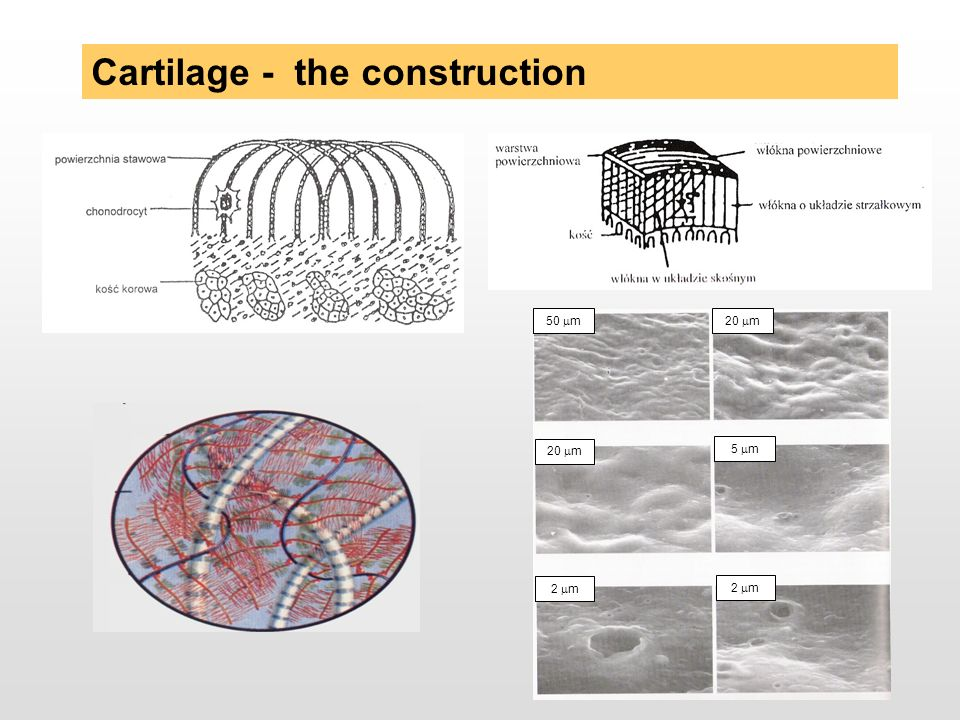Cartilage - the construction