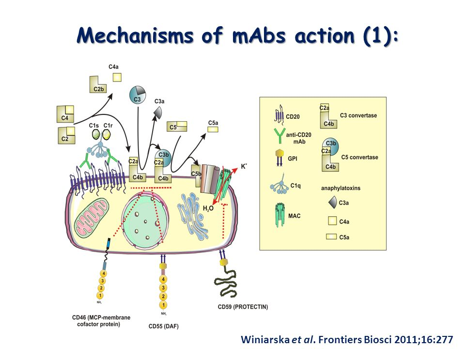 Mechanisms of mAbs action (1):
