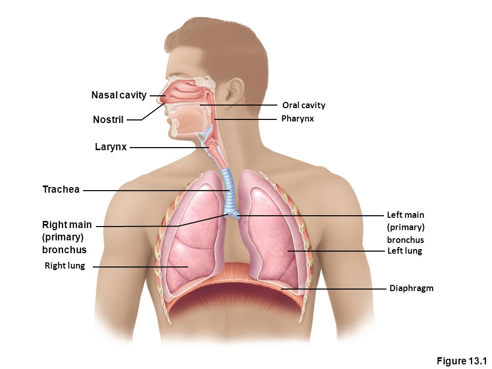 Left Right Lung Diagram Toyskids