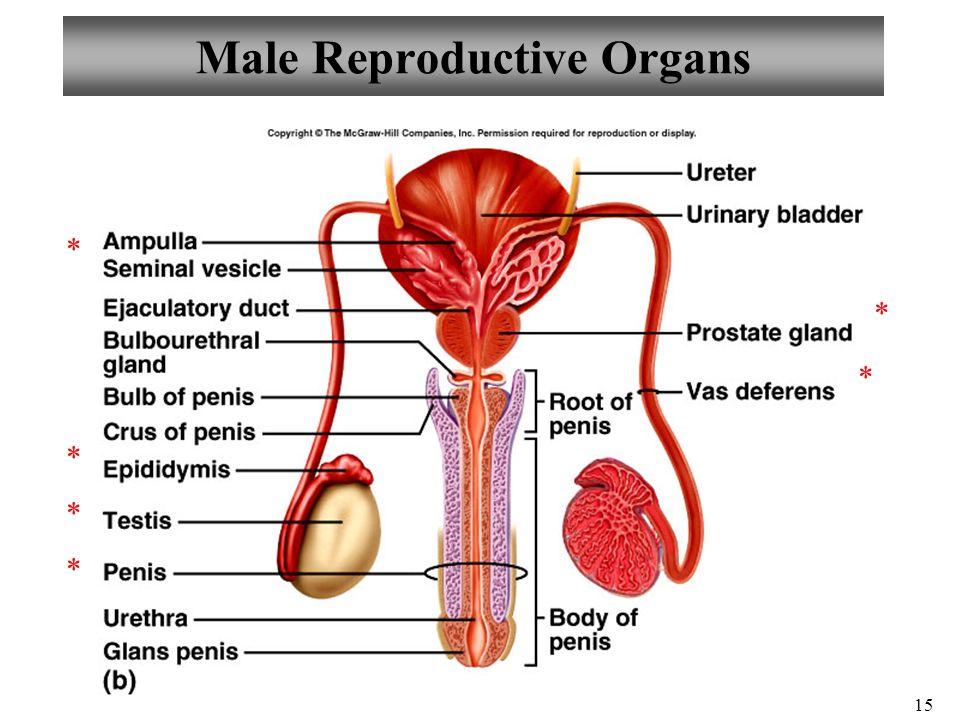 Nett Stier Reproduktive Anatomie Bilder - Anatomie Von Menschlichen ...