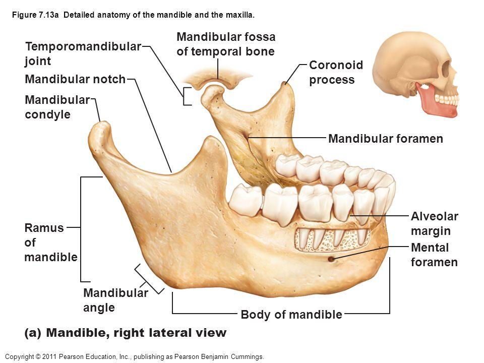 Mandible And Maxilla Anatomy Images Human Body Anatomy