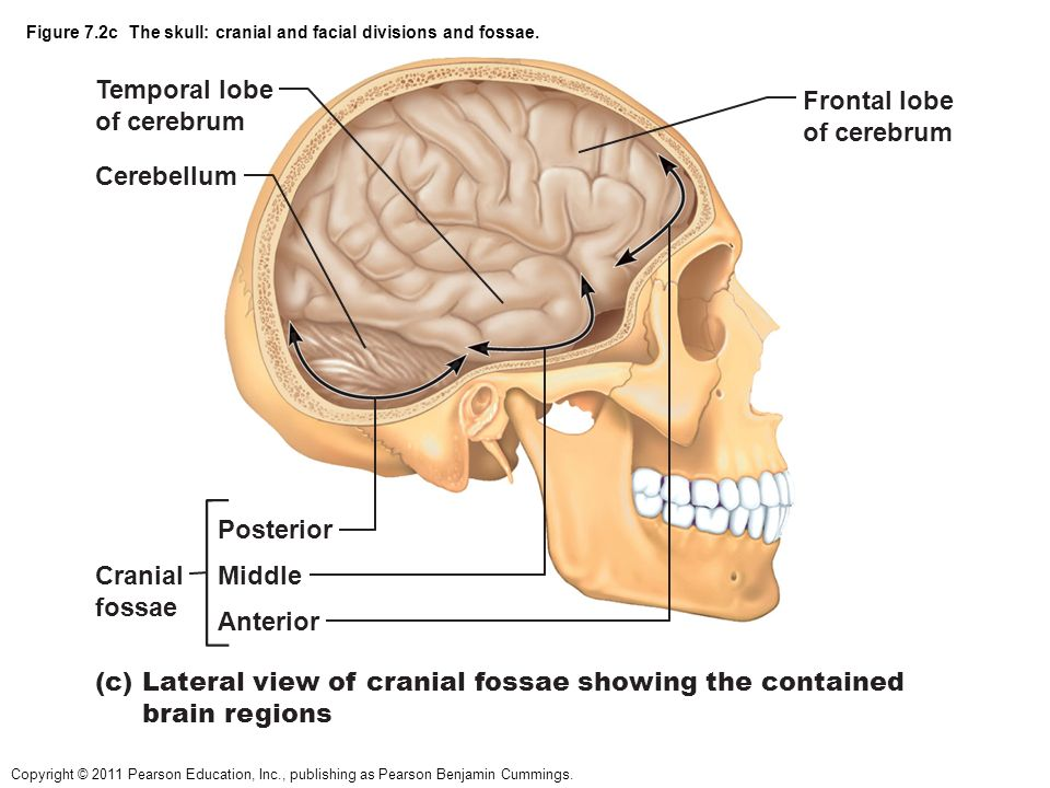 Nice Posterior Cranial Fossa Anatomy Adornment - Anatomy And ...