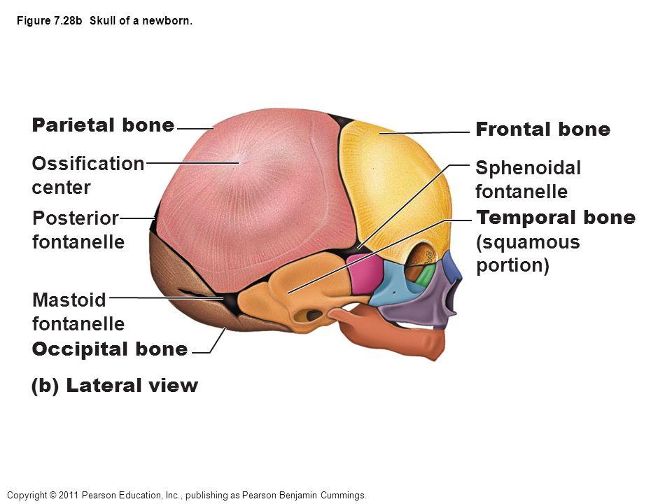 Großartig Mastoid Prozessfunktion Bilder - Menschliche Anatomie ...