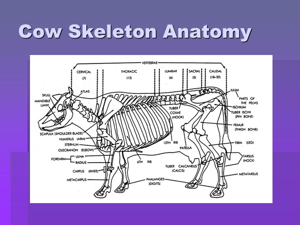 Funky Cow Skeleton Anatomy Mold - Human Anatomy Images ...