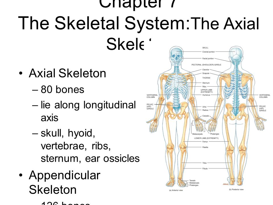 Skeletal System Outline - Clipart Library •
