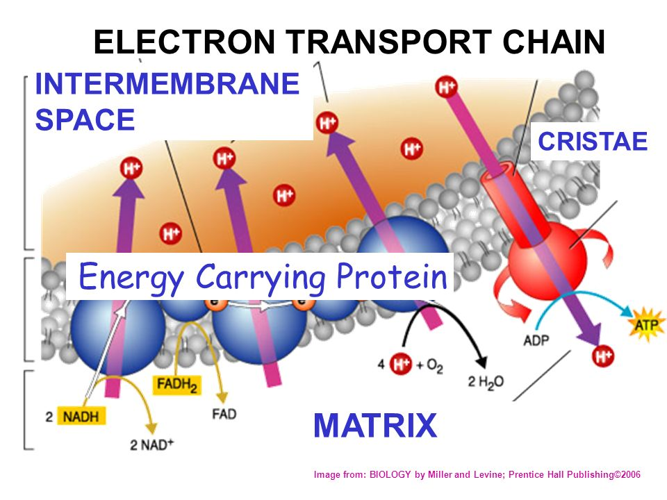 biology cell and electron transport chain Electron transport system  components of the electron transport chain  if electrons flow from the sample cell to the standard reference cell and have a .