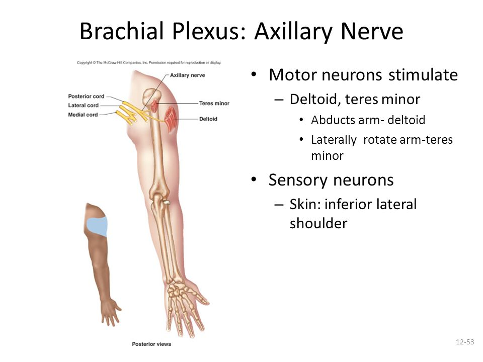 Spinal nerves, cervical, lumbar and sacral plexus - ppt ...