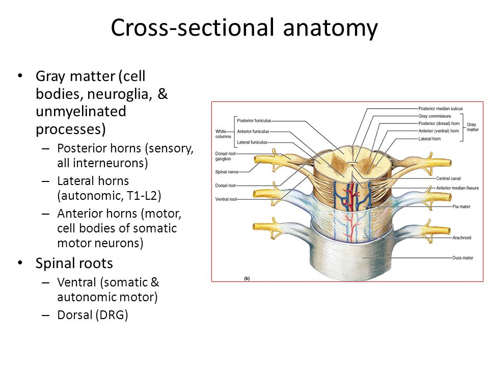 Cross sectional anatomy