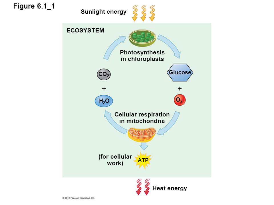 Photosynthesis in chloroplasts cellular respiration in mitochondria photosynthesis in chloroplasts cellular respiration in mitochondria ccuart Choice Image