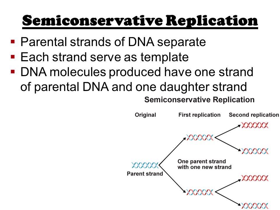 semiconservative replication involves a template what is the template - dna replication ppt video online download