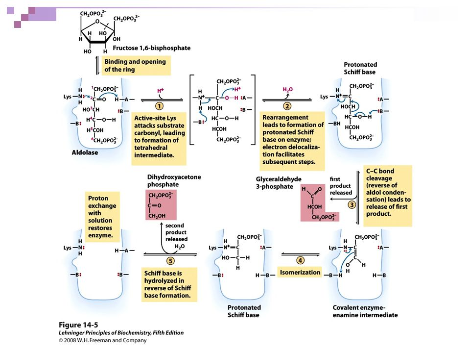 FIGURE 14-5 The class I aldolase reaction