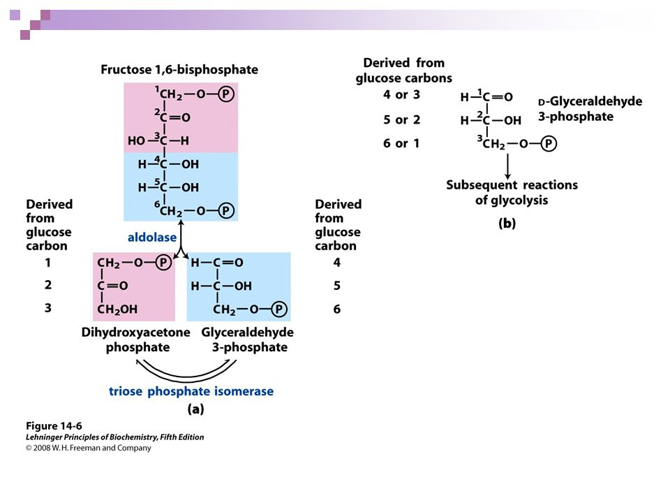 FIGURE 14-6 Fate of the glucose carbons in the formation of glyceraldehyde 3-phosphate.