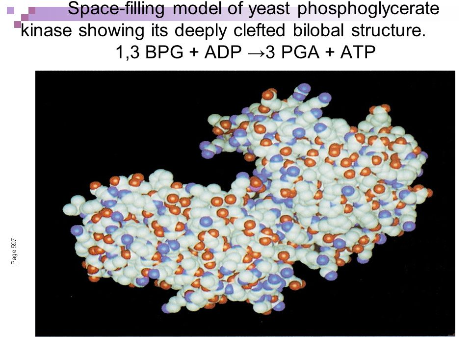 Space-filling model of yeast phosphoglycerate kinase showing its deeply clefted bilobal structure. 1,3 BPG + ADP →3 PGA + ATP