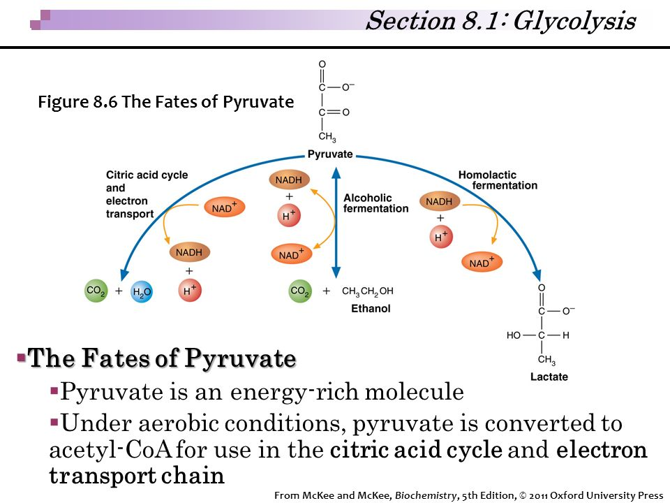 Section 8.1: Glycolysis The Fates of Pyruvate