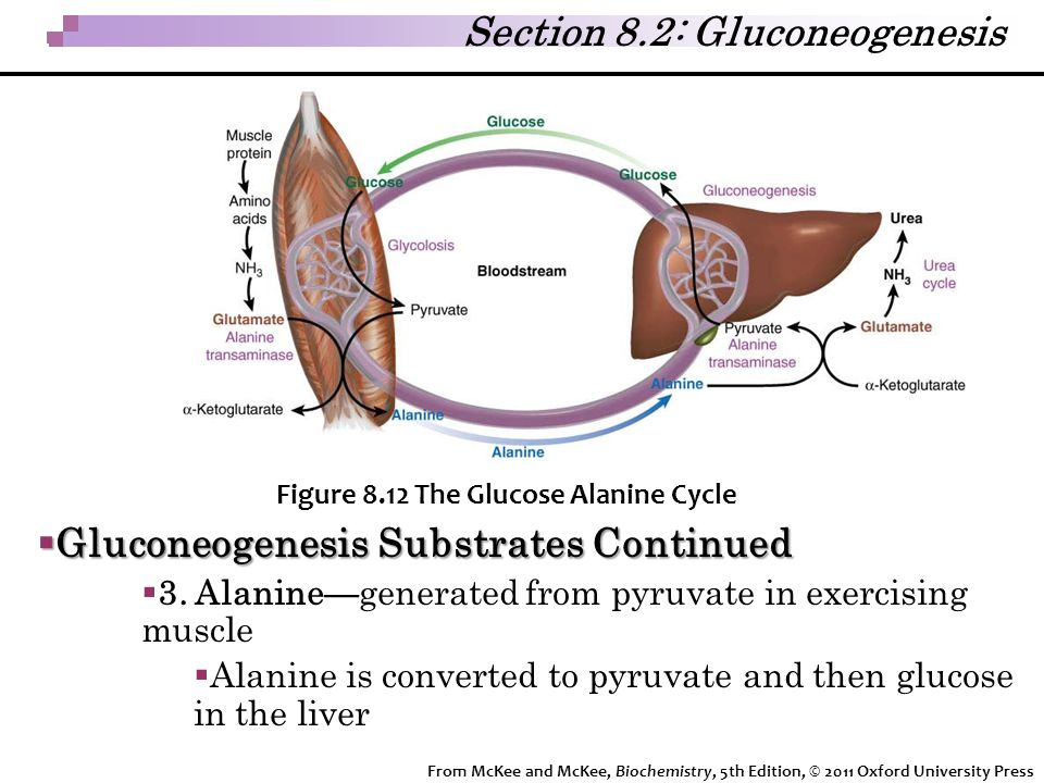 Section 8.2: Gluconeogenesis
