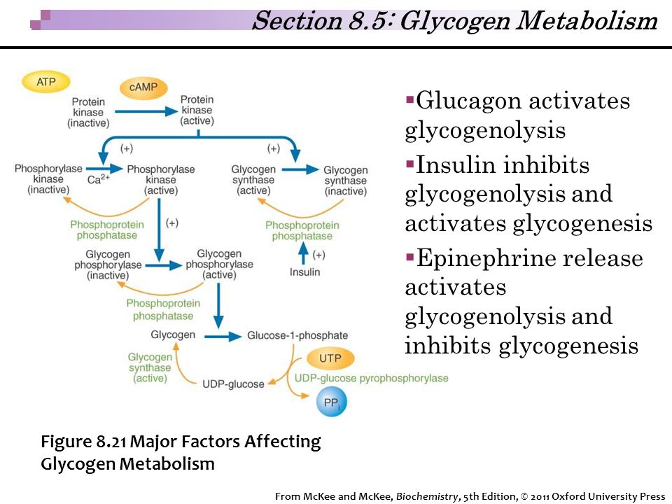 Section 8.5: Glycogen Metabolism