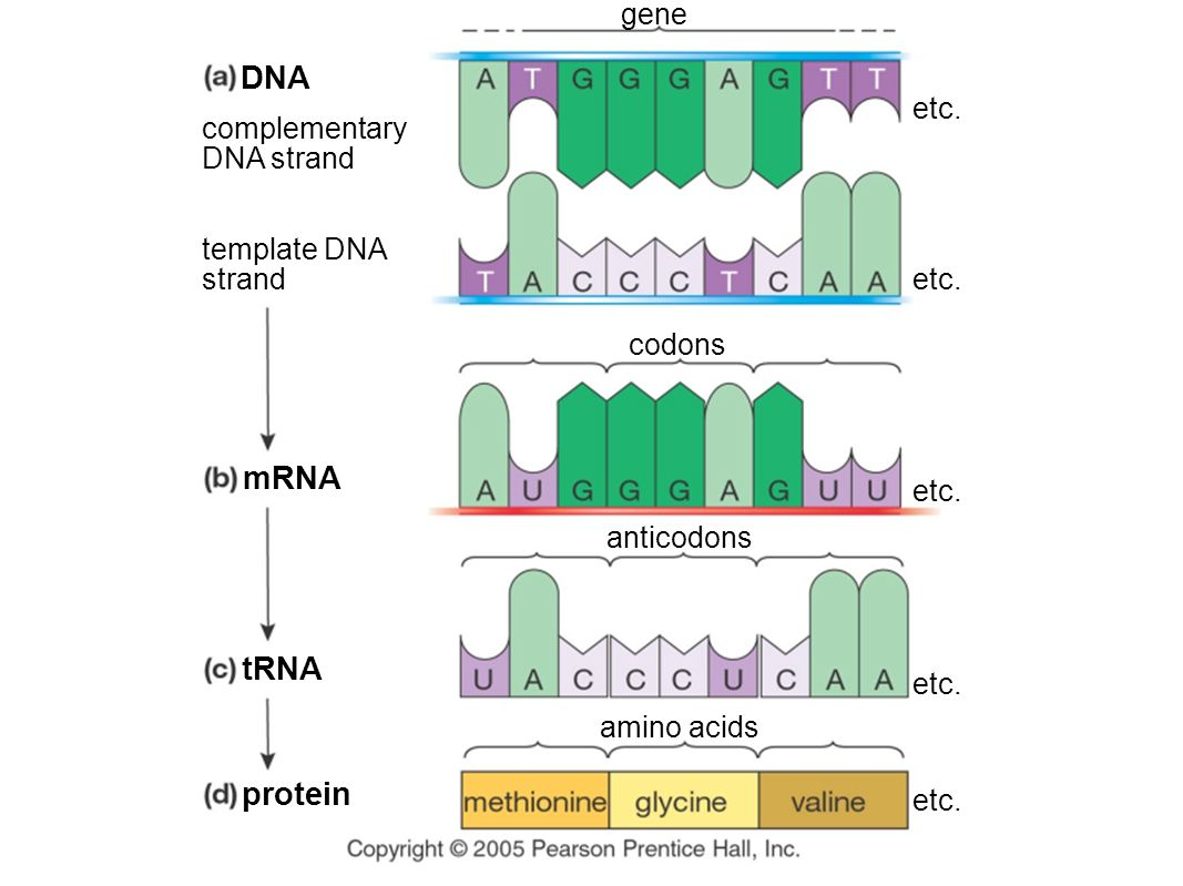 how to find trna sequence from mrna