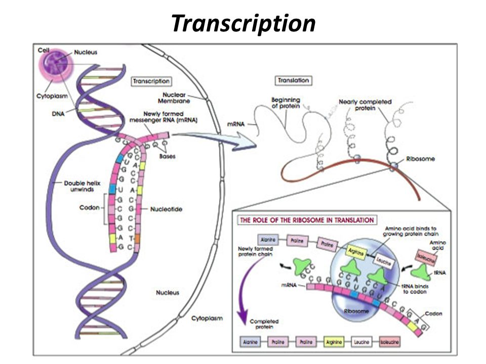 Protein Synthesis Process that makes proteins - ppt download