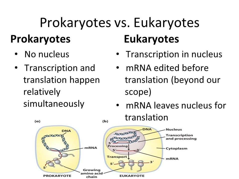 3 exit slip Protein Synthesis 63 HW finish worksheet Quiz ppt – Prokaryotes Vs Eukaryotes Worksheet