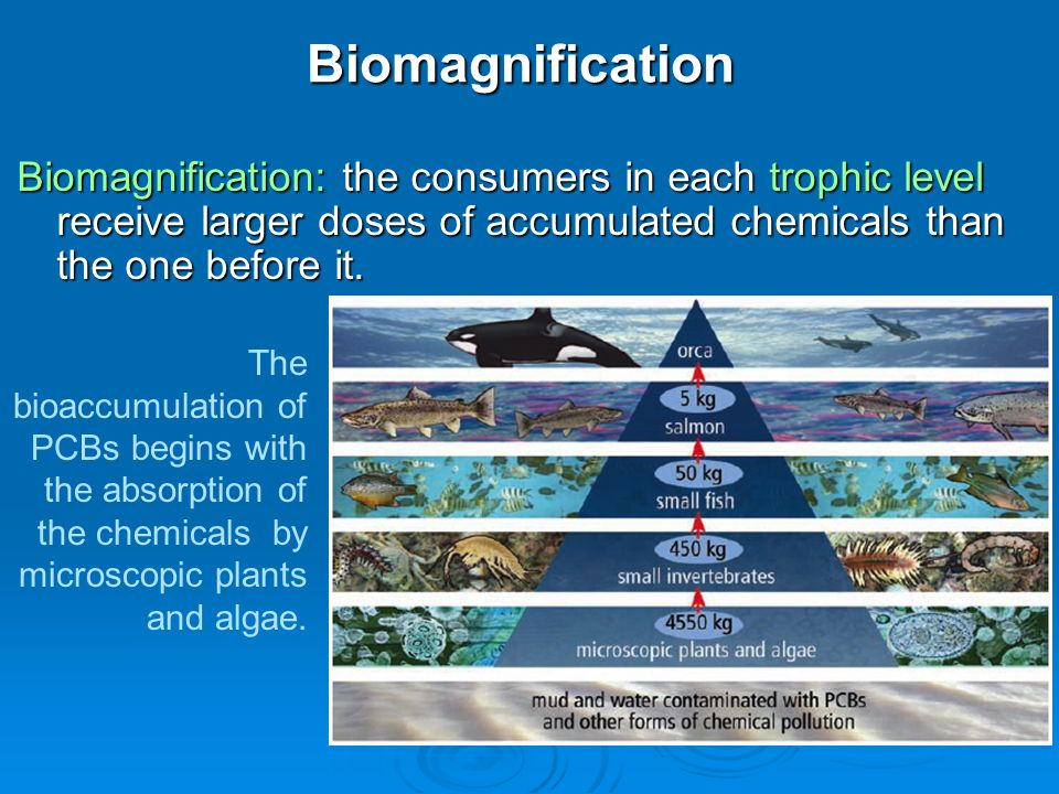 23 effect of bioaccumulation on ecosystems ppt video