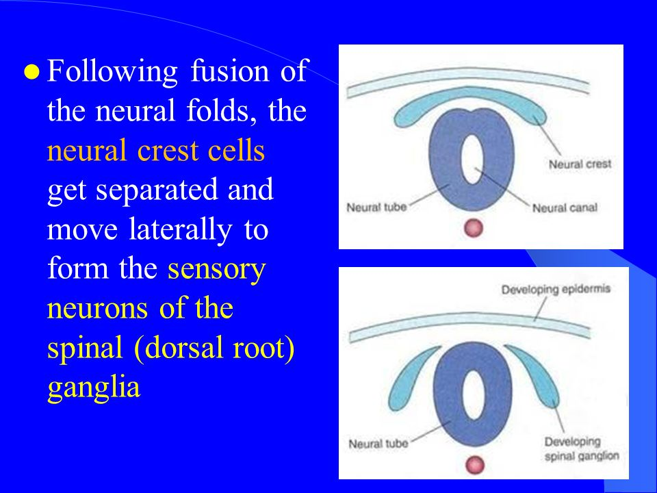 Intraembryonic Mesoderm - ppt download