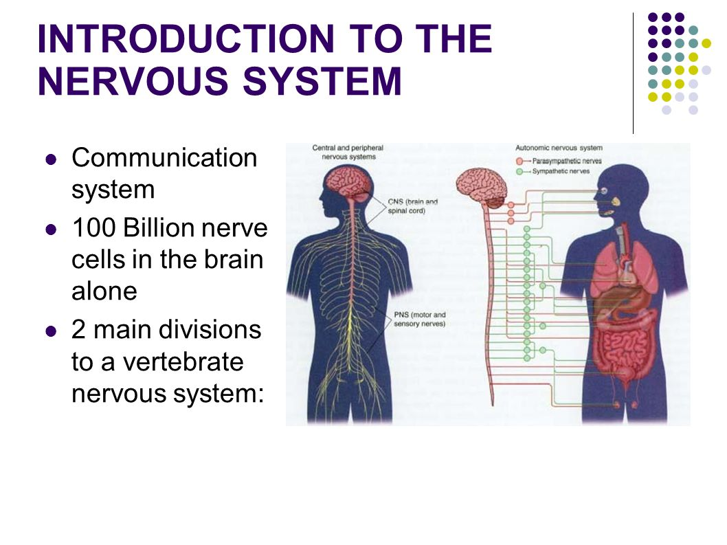 an introduction to the autonomic nervous system The autonomic nervous system (ans) is a very complex, multifaceted neural  network that maintains internal physiologic homeostasis.