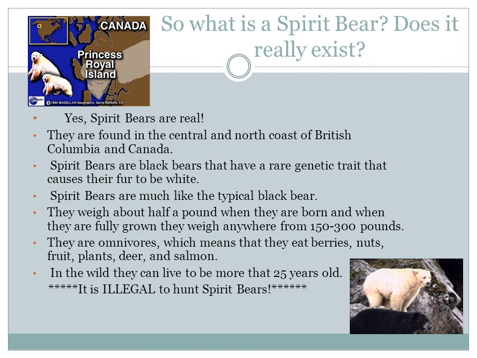 So what is a Spirit Bear Does it really exist